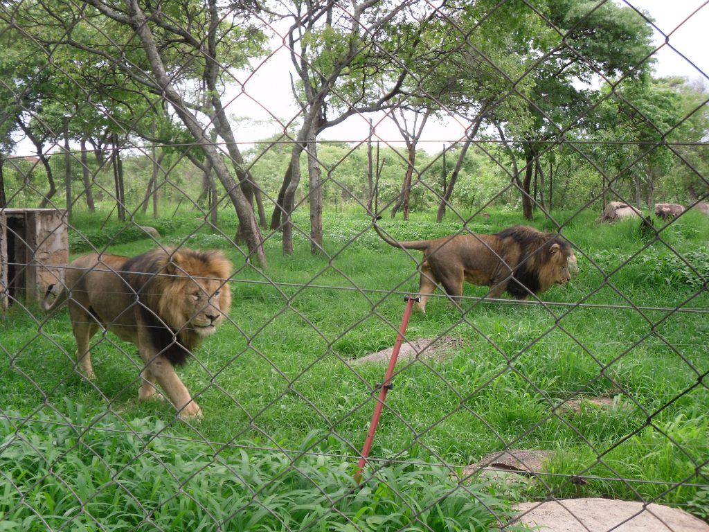 Lions in the wildlife park